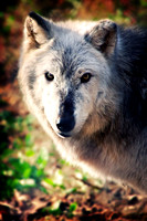 Female Gray Timber Wolf